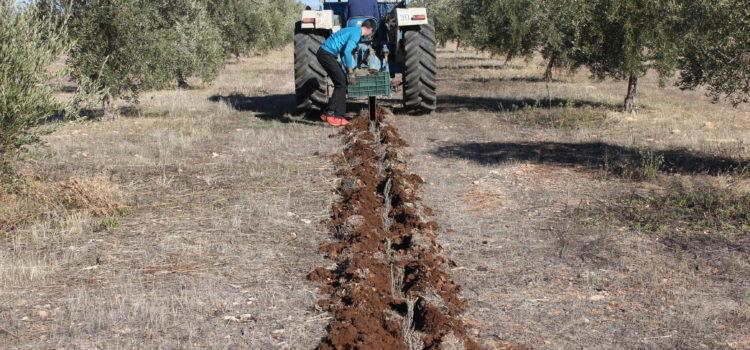 Quando apicoltura ed olivicoltura vanno a braccetto: un'idea sostenibile