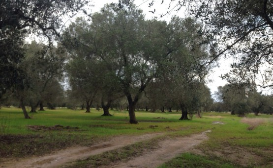UE: si avvicina sempre di più l'IGP Olio di Puglia