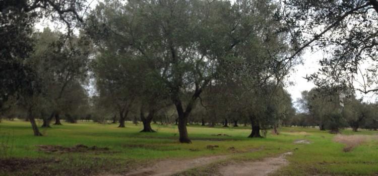 Olio pugliese: Bari, produzione calata del 90 percento