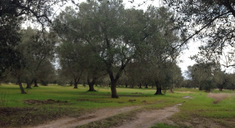 UE: la xylella in Puglia è preoccupante