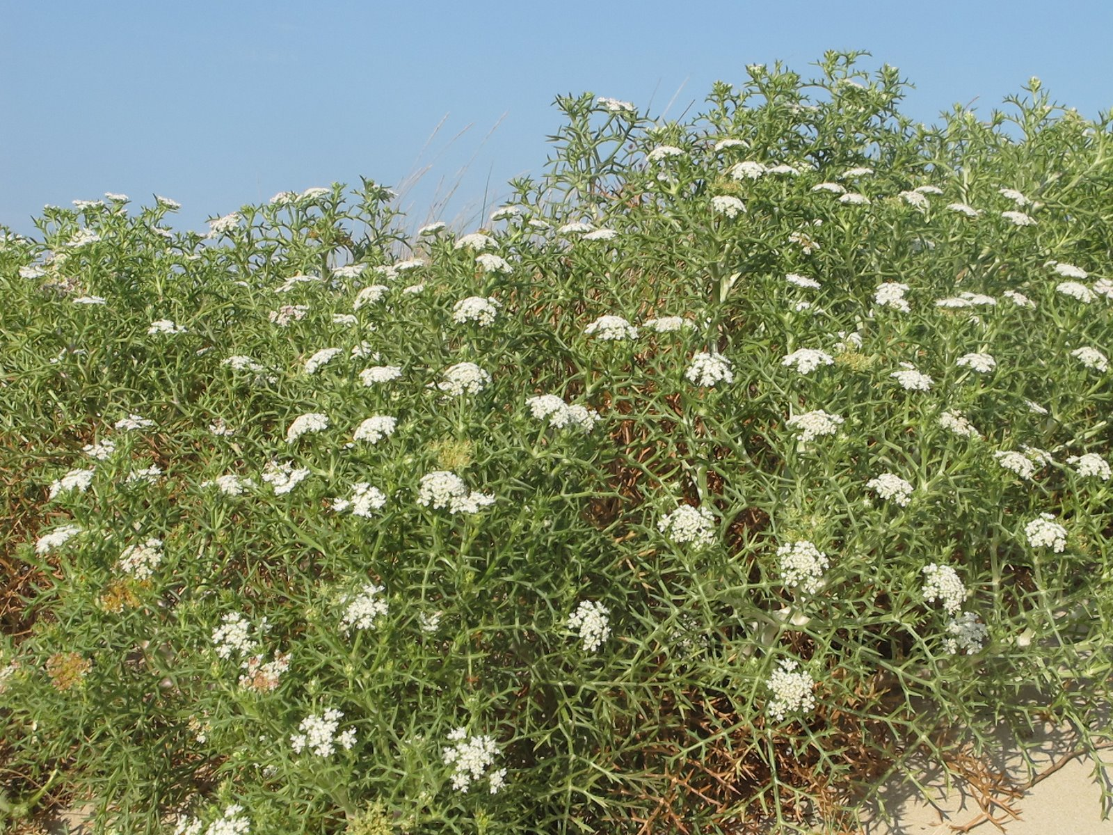 Echinophora spinosa L. Apiaceae – Finocchio litorale – (6)