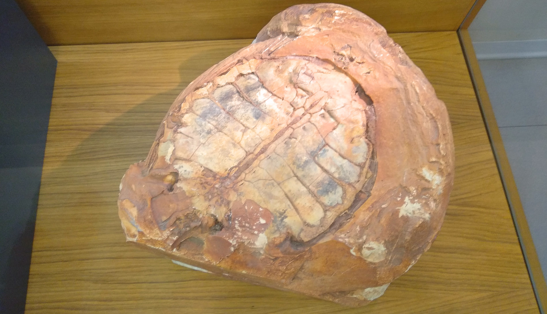 Fossile-di-Tartaruga