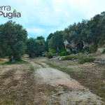 La Puglia e il suo oro verde