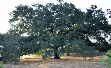 La quercia Vallonea e la leggenda dei cento cavalieri