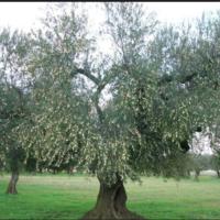 laterradipuglia.it - olio pugliese