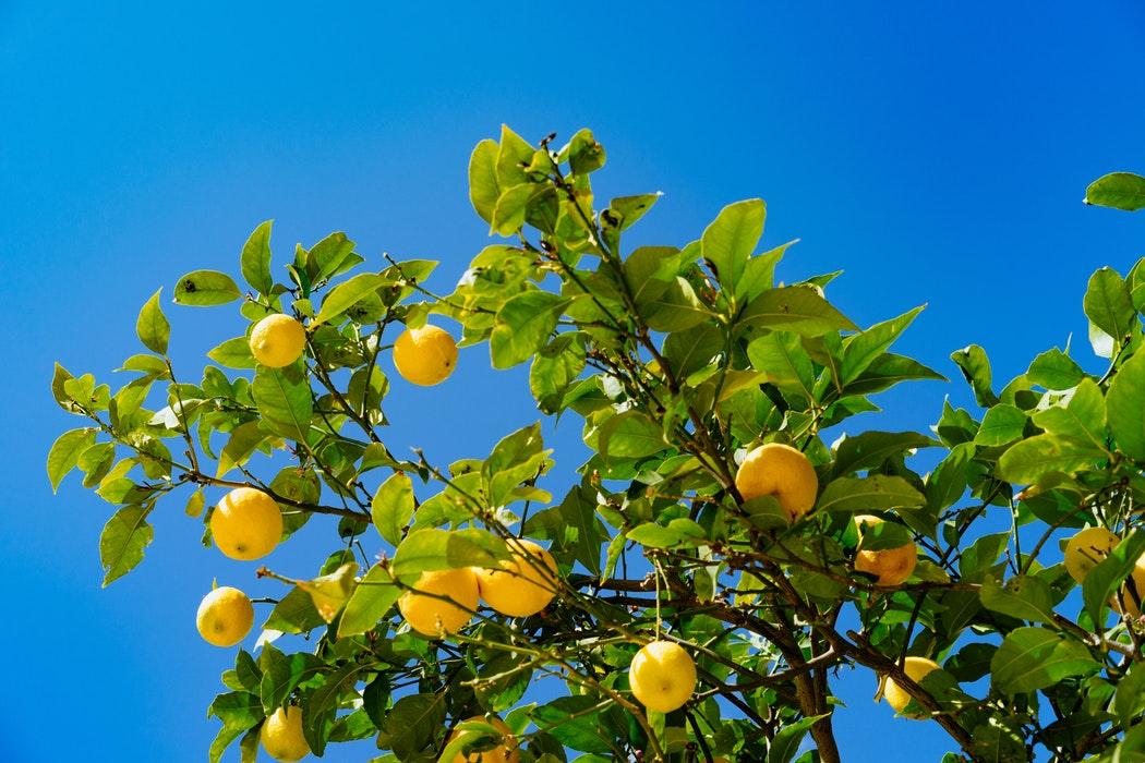 albero di limone pugliese
