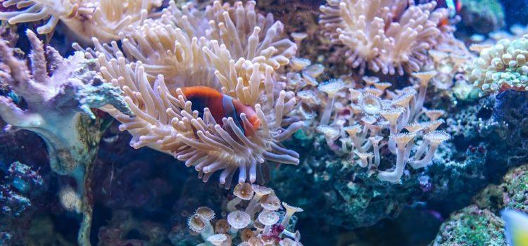 Scoperta la prima barriera corallina della Puglia