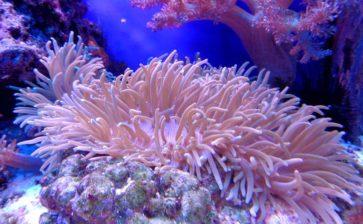 """Scoperta nuova """"barriera corallina"""" anche a Molfetta"""