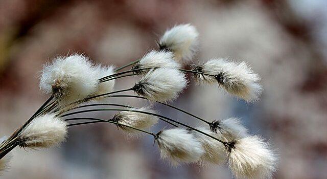Il primo cotone Made in Italy è pugliese