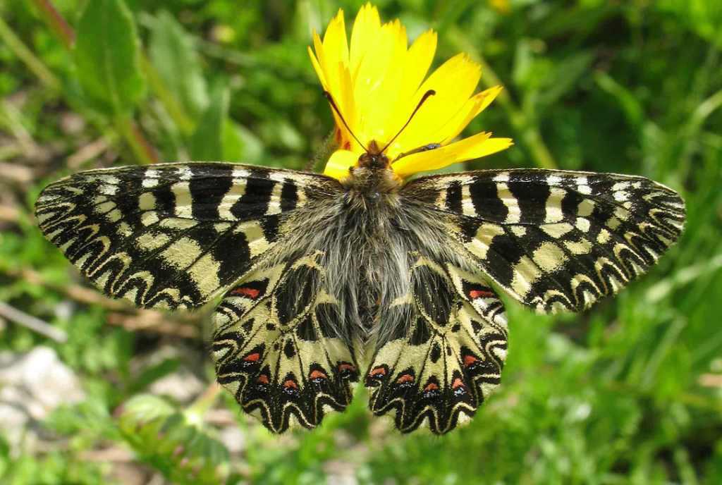 farfalla-cassandra-ciclotrekking