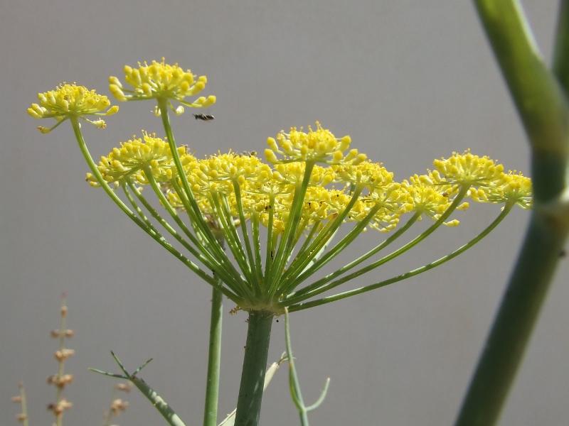 finocchio-fiore