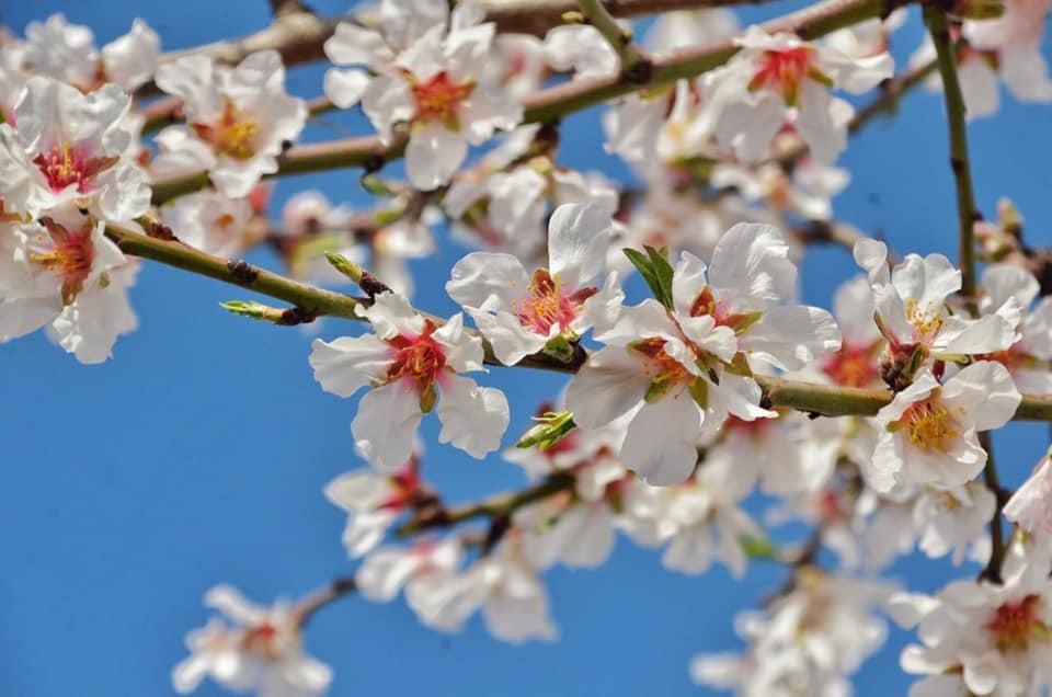 fiori-mandorlo