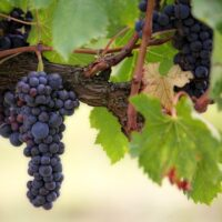 Rinascita del vino pugliese