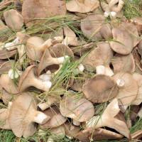 funghi-cardoncelli-gratinati