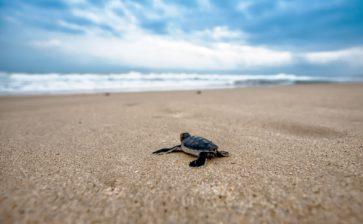 Gallipoli: in spiaggia sono nate le tartarughine