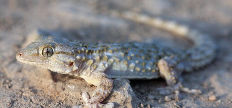 Il Geco, timida specie in Terra di Puglia