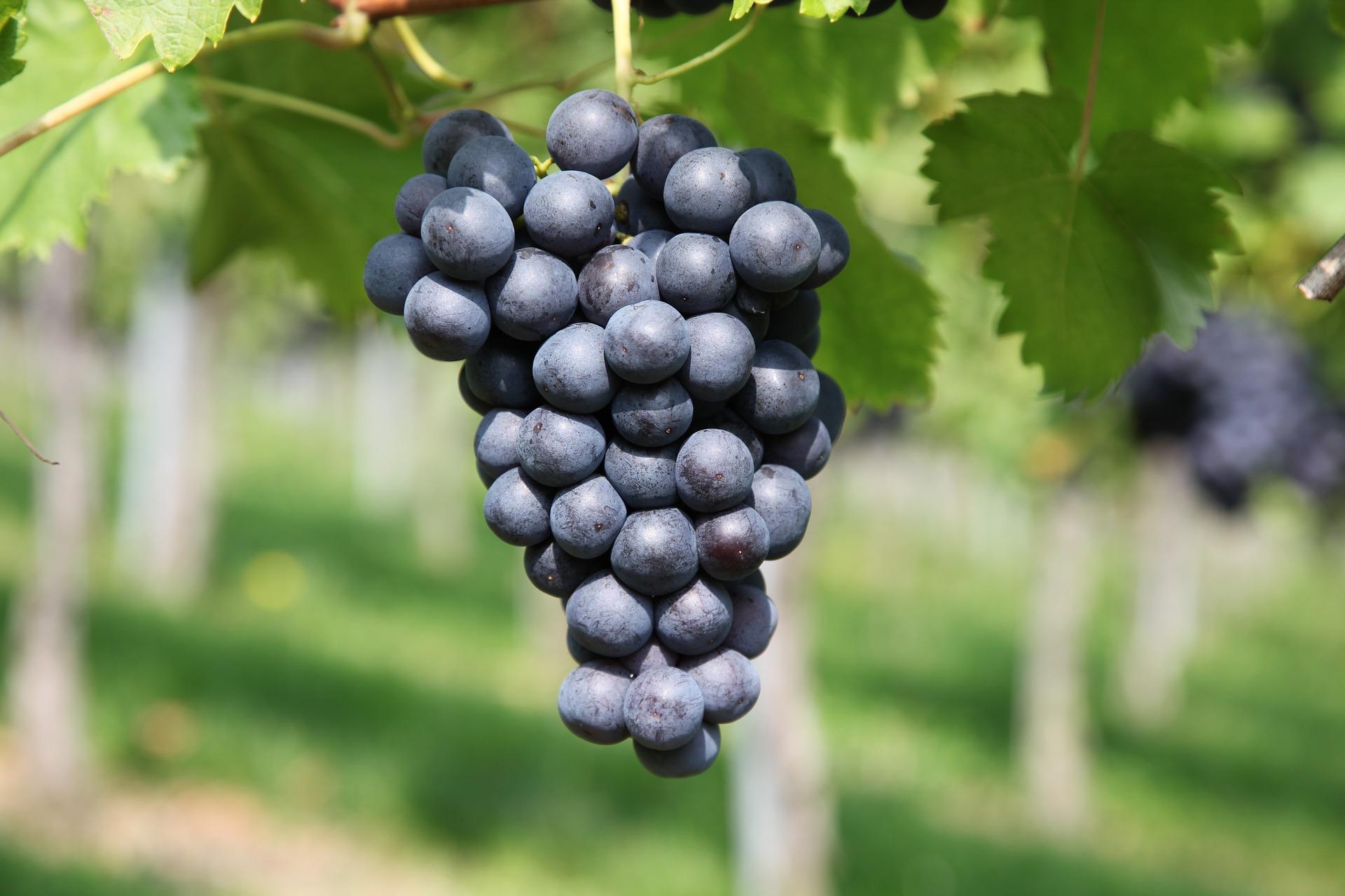 grape-2911039_1920