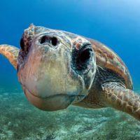 una tartaruga nei mari pugliesi - La Terra di Puglia