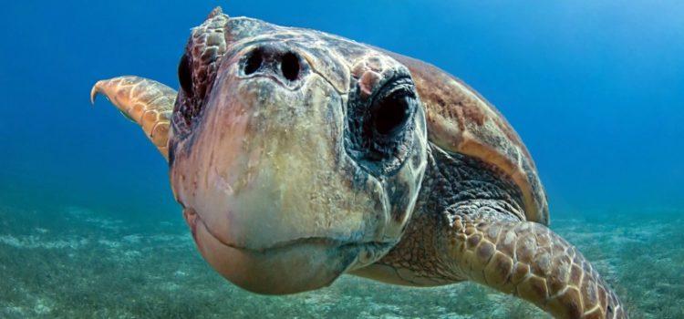 La schiusa delle uova delle tartarughe Caretta caretta nel Salento