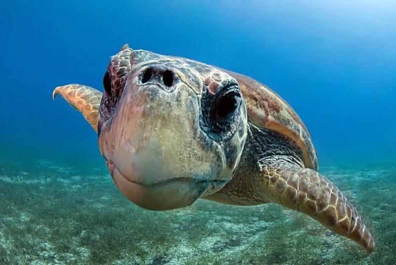 la-tartaruga-caretta-caretta-nel-mare-del-salento-logo-del-bed-and-breakfast-la-zolfara1