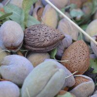 mandorle pugliesi - La Terra Di Puglia