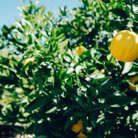 olio al limone - LaTerradiPuglia.it