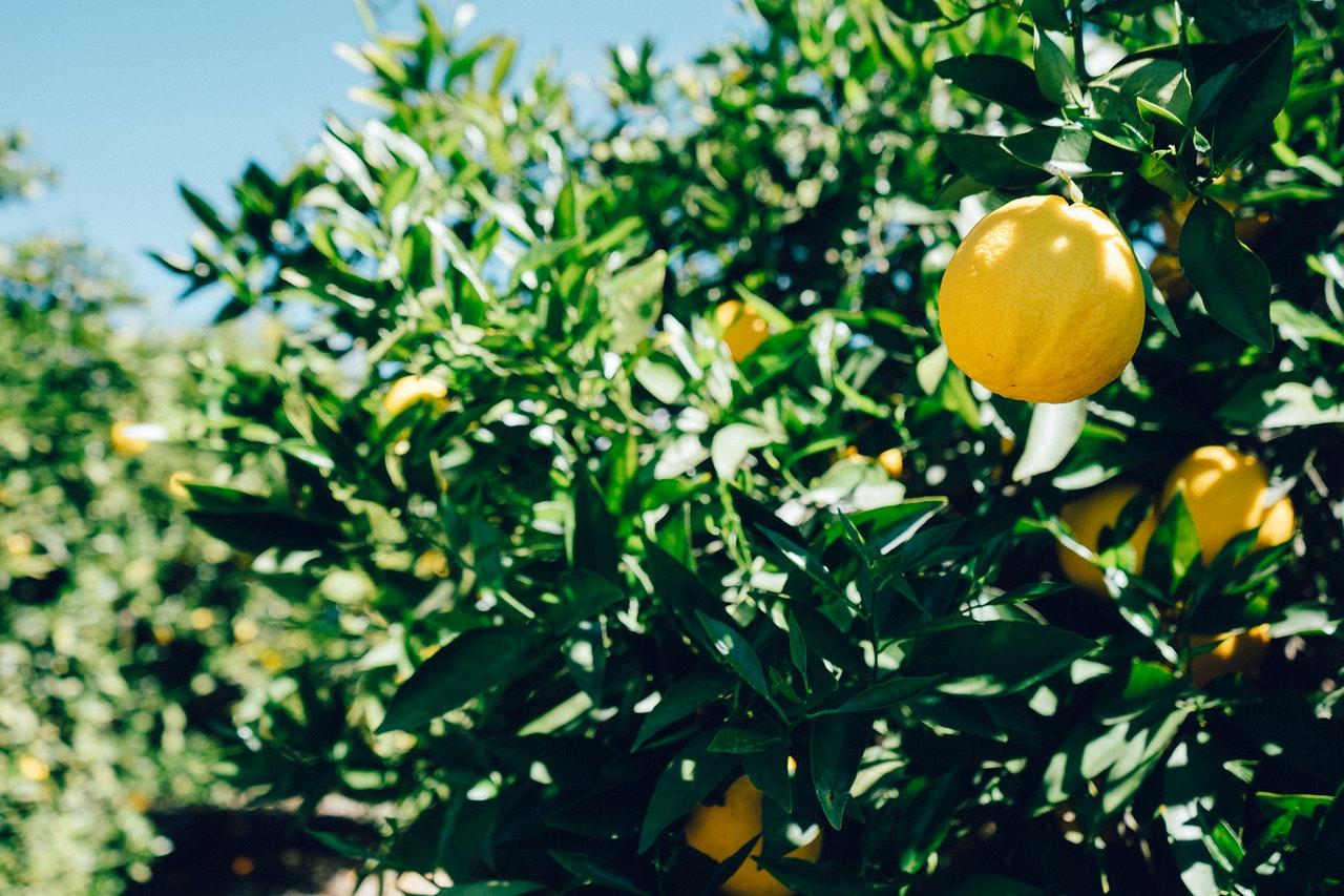 olio al limone – LaTerradiPuglia.it