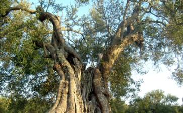 Assoproli: il 2013 sarà l'anno dell'extravergine di oliva di Puglia