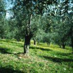 Caratteristiche dell'Olio d'oliva Pugliese