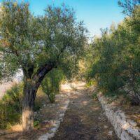 uliveto con alberi secolari