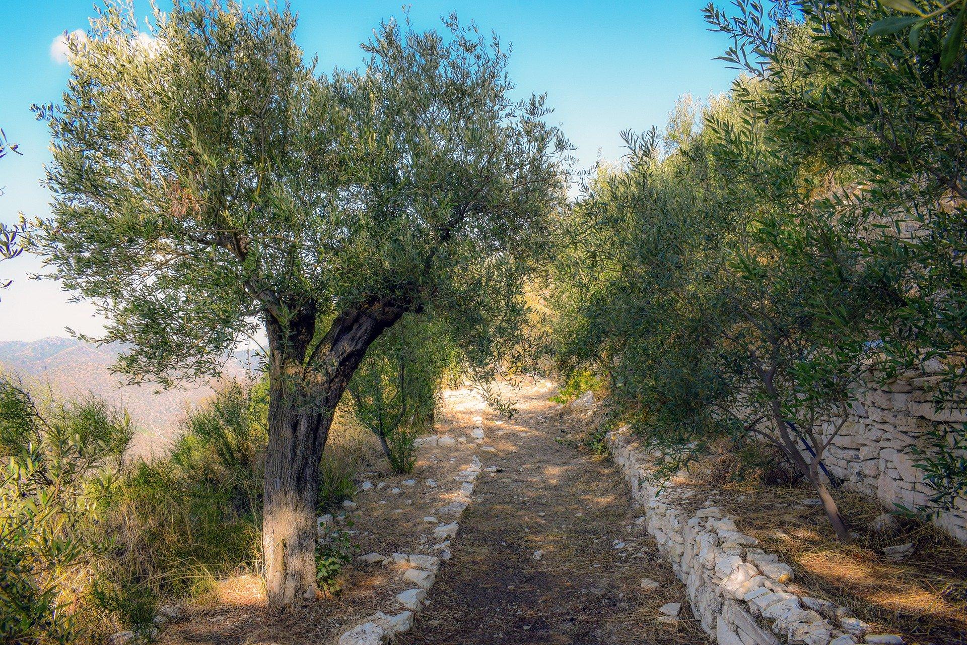 olive-grove-4588219_1920