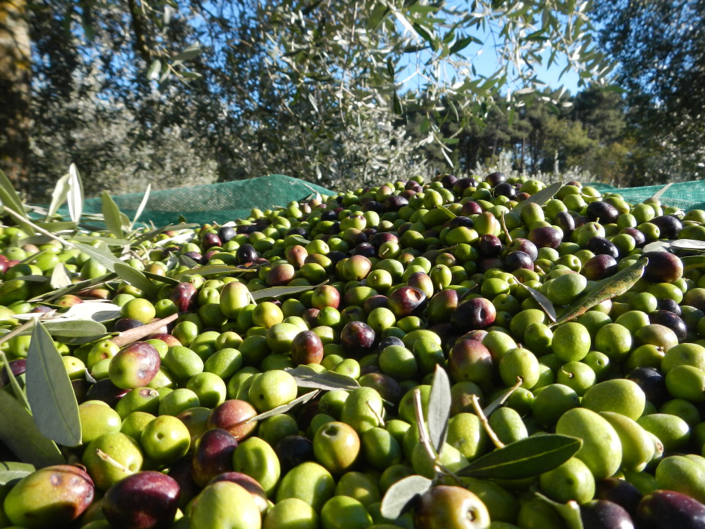 olive-pugliesi