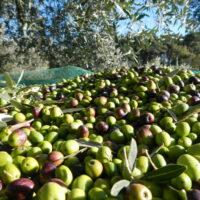ricetta delle olive in salamoia - Laterradipuglia.it