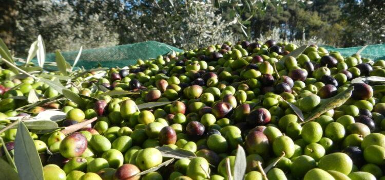 Come si fanno le olive in salamoia (o in acqua)