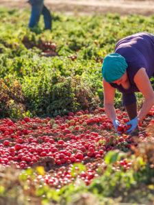 """La """"guerra"""" dei pomodori pelati tra Puglia e Campania"""