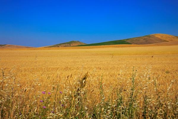 puglia-agricoltura-grano-borsa