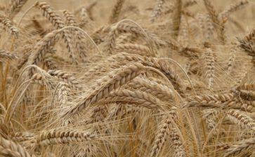 La Puglia riduce l'import di grano canadese