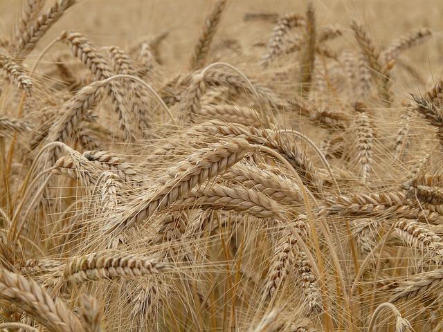 puglia-riduce-import-grano-canadese