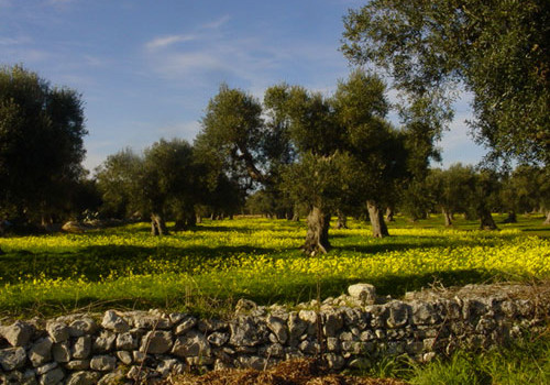 Gli ultimi sviluppi sull'emergenza xylella in Puglia