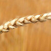 tipi di farina - La Terra di Puglia