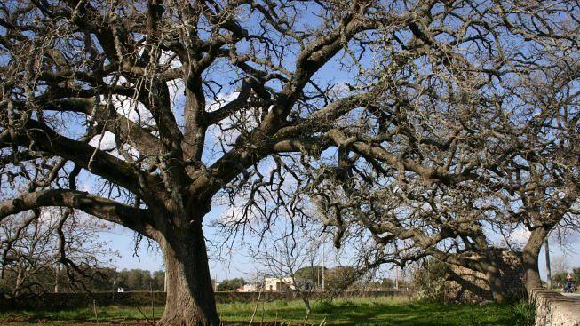 quercia-vallonea-tricase