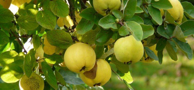 Confettura di mele cotogne, cotognata e mostarda: le differenze
