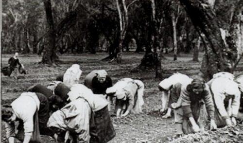 La raccolta delle olive in Puglia: chi erano le raccoglitrici