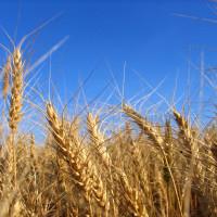 ricette-con-il-grano