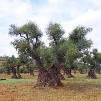 olio pugliese, cultivar - Laterradipuglia.it