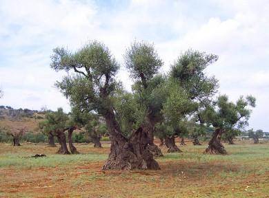 Arriva il comitato regionale per gli ulivi