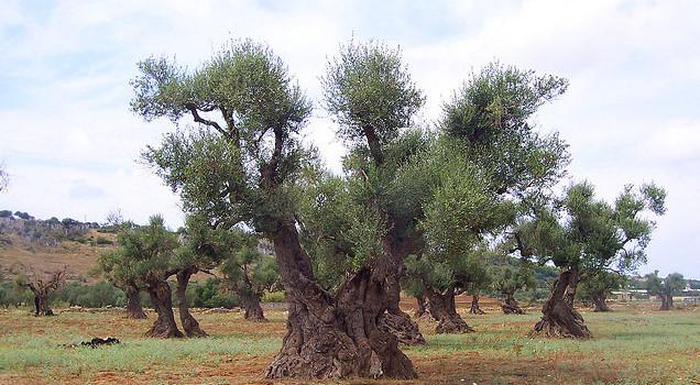 Salento e olio: la Xylella fastidiosa compromette la produzione