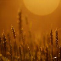 i contadini pugliesi, luna, lavori agricoli in Puglia - La Terra di Puglia