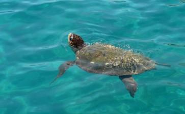 La Puglia fa il censimento delle tartarughe marine