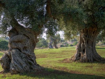 Le ultime news sulla xylella in Puglia